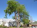 Oak tree, York Street, George.jpg