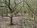 Oak woodland, Nunley Pit - geograph.org.uk - 1804900.jpg