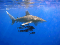 An oceanic whitetip shark and several pilot fish.