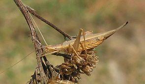 Weibchen des Weinhähnchens
