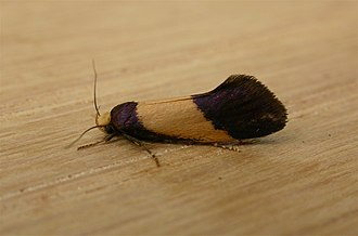 Oecophoridae - Adult of unidentified Oecophorinae species, Aranda (Australia)