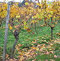 Old and young riesling vines.jpg