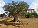 Olive in the Valley of the Temples. Agrigento.jpg