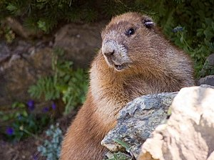 Olympic marmot - The lighter fur patches characteristic of the Olympic marmot in summertime