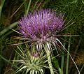 Onopordum sp. - Flickr - S. Rae (1).jpg