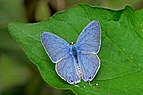 Open wing position of Catochrysops strabo (Fabricius, 1793) – Forget-me-not (Male) DSC 9413 .jpg