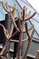 Opuntia imbricata 16zz.jpg