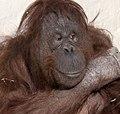 Orangutan 6d (5512048891).jpg