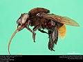 Orchid bee (Apidae, Eulaema nigrifacies (Friese)) (37251214645).jpg