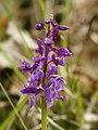 Orchis mascula (flower spike).jpg
