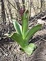 Orchis purpurea sl65.jpg