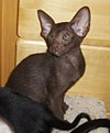 Oriental Shorthair cat Brandi.jpg
