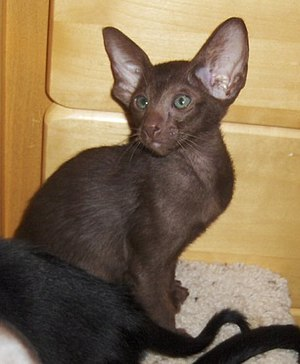 Oriental Shorthair - Orientals typically have large ears and green eyes (Solid chocolate Oriental kitten)