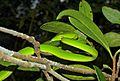 Oriental Vine Snake (Ahaetulla prasina) (8753274565).jpg