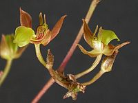 Orleanesia yauaperyensis.jpg
