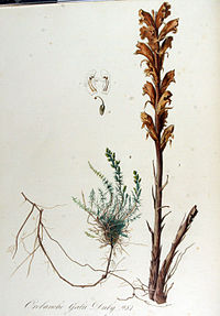 Orobanche caryophyllacea (sin. Orobanche galii)