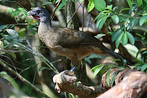 Plain chachalaca - Plain chachalaca in Belize showing red throat-patch