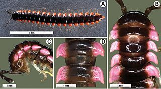 <i>Orthomorpha</i> Genus of millipedes