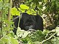 Oruzogo Mountain Gorilla (6734894191).jpg