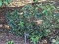 Osmanthus yunnanensis - J. C. Raulston Arboretum - DSC06158.JPG