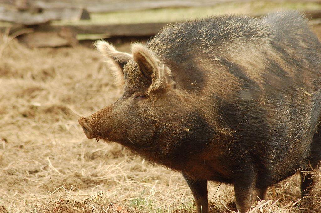 Hog Pig For Sale Ossabaw Island Hogs For Sale