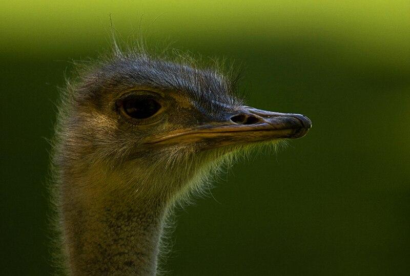 File:Ostrich bokeh.jpg