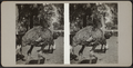 Ostriches in their pen, from Robert N. Dennis collection of stereoscopic views.png
