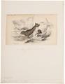 Otaria ursina - 1700-1880 - Print - Iconographia Zoologica - Special Collections University of Amsterdam - UBA01 IZ21100069.tif