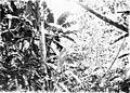 PSM V86 D413 Woods in hamuta valley tahiti.jpg