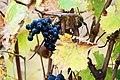 Paarl grapes-001.jpg