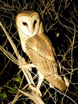 Pacific Barn owl by wattol - Christopher Watson.jpg