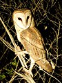 Pacific Barn owl by wattol - Christopher Watson.jpg