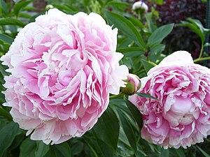 Peony - Paeonia 'Sarah Bernhardt'