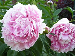 Paeonia Sarah Bernhardt Ancient Chinese Texts Mention The Peony Was