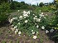 Paeonia lactiflora 2017-05-31 1963.jpg