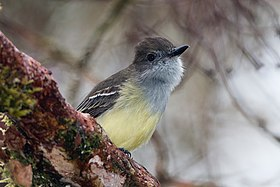 Pale-edged-Flycatcher.jpg