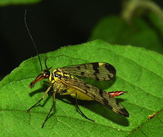 Panorpa communis - P. communis female