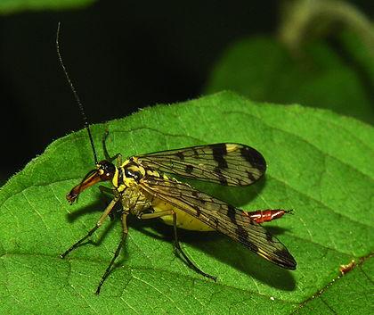 Bộ sưu tập côn trùng 2 - Page 26 420px-Panorpa_communis_2006-07-11