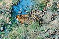 Panthera tigris tigris Kanha india.jpg