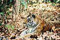 Panthera tigris tigris wild tiger Kanha India.jpg