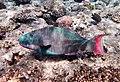 Papageifisch-Cetoscarus ocellatus...DSCF5742BE.jpg