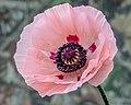 Papaver orientale (poppy) - Flickr - Andy Morffew.jpg