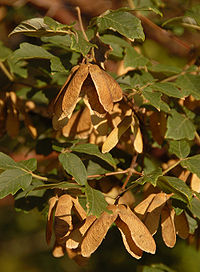 Paperbark Maple Acer griseum Brown Seeds 2000px.jpg