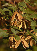 Paperbark Maple Acer griseum Brown Seeds 2000px.jpg