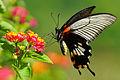 Papilio memnon heronus female tailed 20130803.jpg