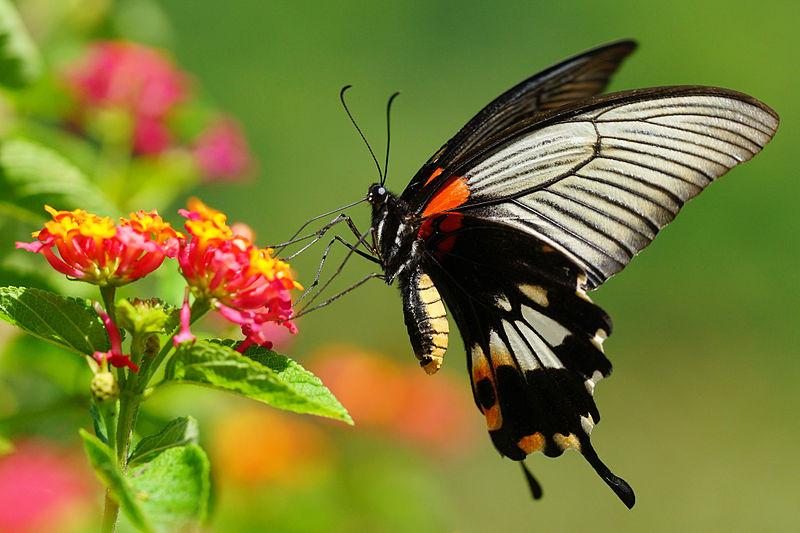 File:Papilio memnon heronus female tailed 20130803.jpg