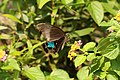 Papilio paris (36054401662).jpg