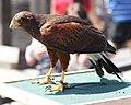 Parabuteo unicinctus -Vancouver Aquarium, British Columbia, Canada -adult-8a.jpg
