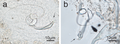 Parasite180107-fig8 - Monogenea of Tilapia in China - Cichlidogyrus cirratus photographs.png