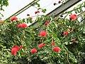 Parc Olbius Riquier (Greenhouse) - Calliandra haematocephala (plant).jpg